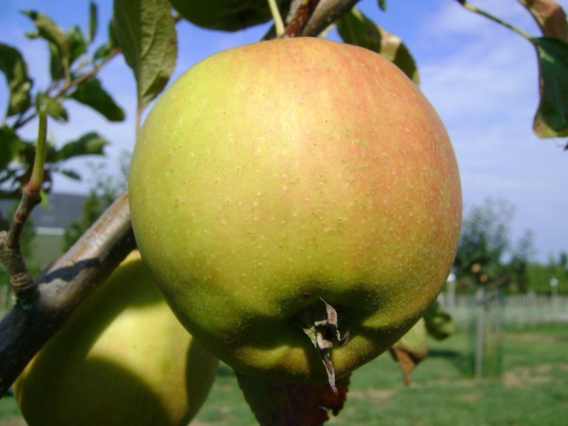 Appelboom Golden Delicious (Golden Delicious appel, laagstam)