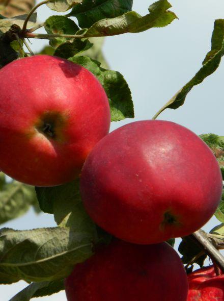 Appelboom Idared (Idared appel, laagstam in pot)