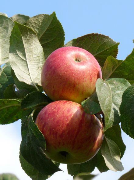 Appelboom Rode Boskoop (Rode Goudreinet appel, laagstam)