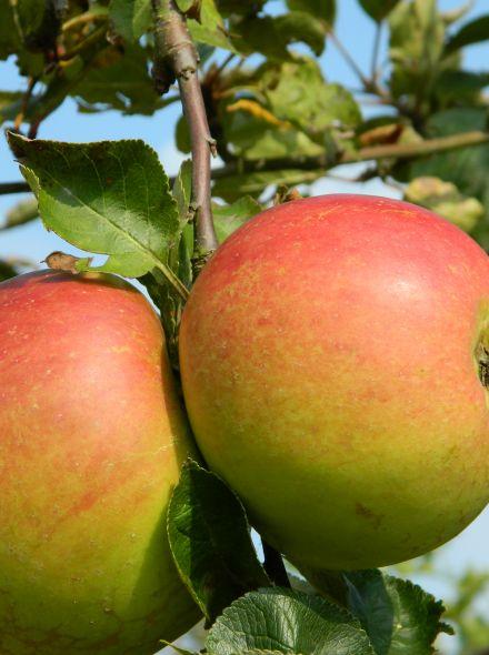 Appelboom Notarisappel (Notarisappel, halfstam)