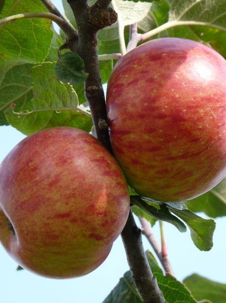 Appelboom Rode Boskoop (Rode Goudreinet appel, halfstam)