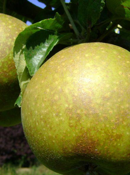 Appelboom Schone van Boskoop (Goudreinet appel, halfstam)