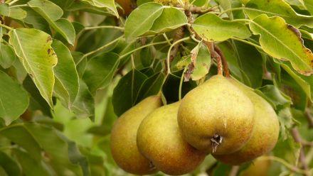 Fruitbomen en vruchtplanten