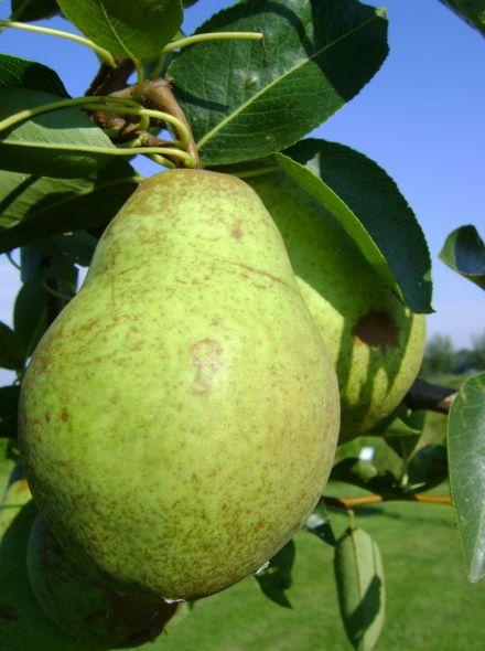 Laagstam perenboom Williams (Handpeer, Pyrus communis Williams)