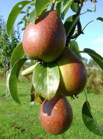 Hoogstam perenboom Doyenne du Comice (Handpeer, Pyrus communis Doyenne du Comice in pot)
