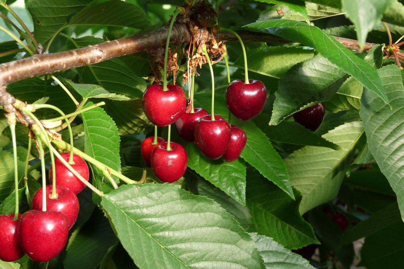 Laagstam kersenboom Kordia (Prunus avium Kordia)