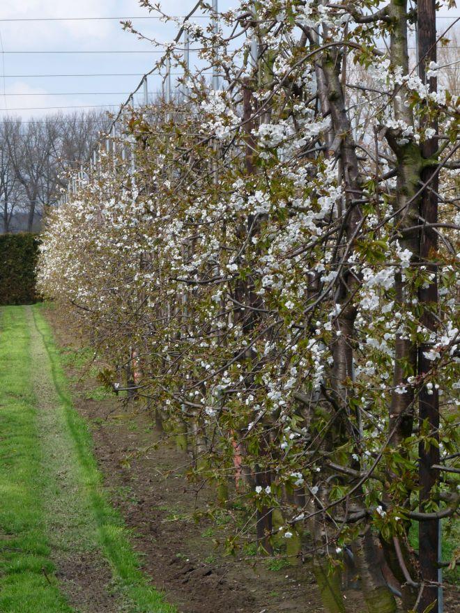 Halfstam kersenboom Kordia (Prunus avium Kordia)