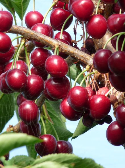 Laagstam kersenboom Lapins (Prunus avium Lapins in pot)