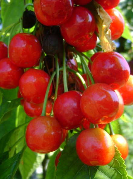 Laagstam kersenboom Morel (Morelkers, Prunus avium Morel)