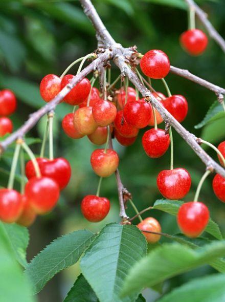 Kersenboom Udenese Spaanse (Prunus avium Udenese Spaanse)