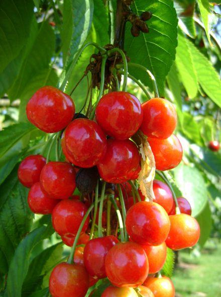 Hoogstam kersenboom Morel (Morelkers, Prunus avium Morel)