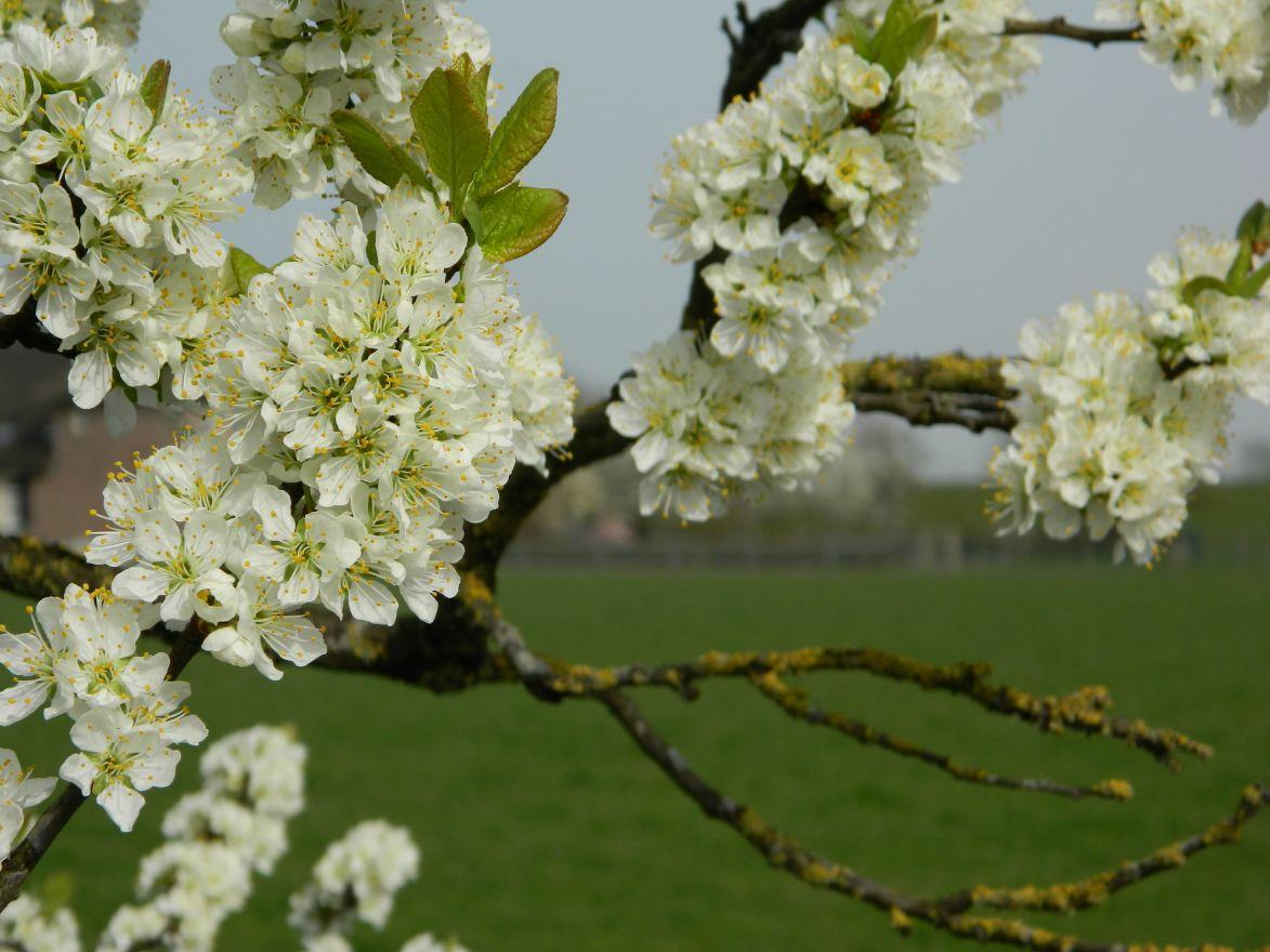 Laagstam pruimenboom Mirabelle de Nancy (Kroosje, Prunus domestica Mirabelle de Nancy)
