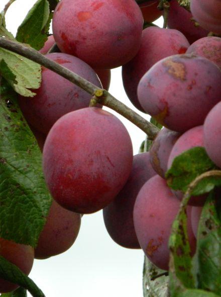 Laagstam pruimenboom Opal (Opal pruim, Prunus domestica Opal in pot)