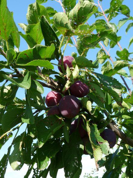 Laagstam pruimenboom 'Reine Claude D'Althan' (Reine Claude pruim, Prunus domestica 'Reine Claude D'Althan' in pot)