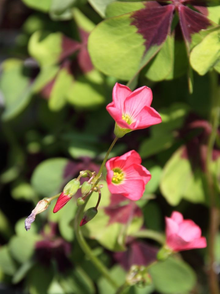 Oxalis tetraphylla ´Iron Cross´ - Klaverzuring, Geluksklavertje