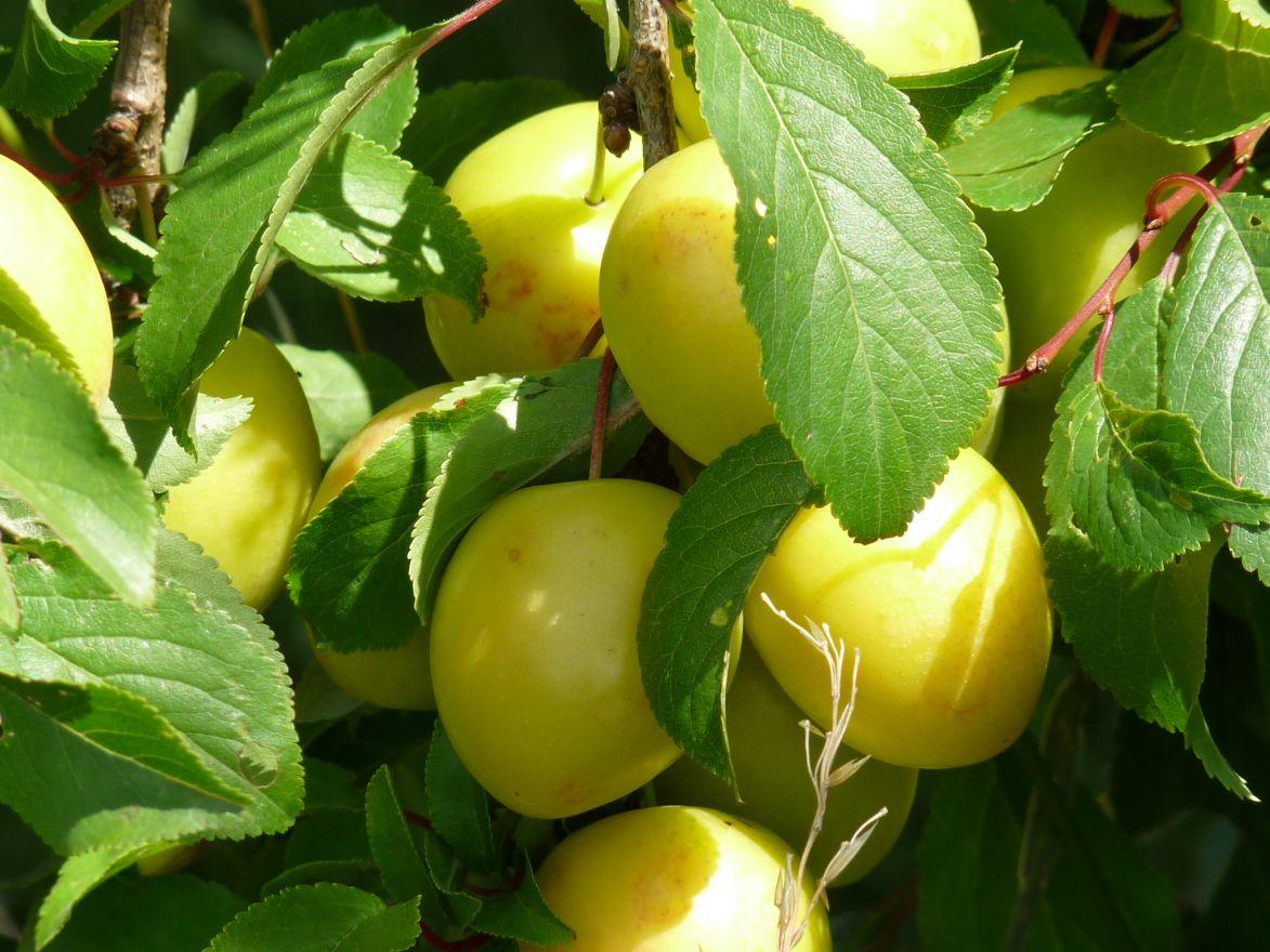 Halfstam pruimenboom Mirabelle de Nancy (Kroosjespruim, Prunus domestica Mirabelle de Nancy)
