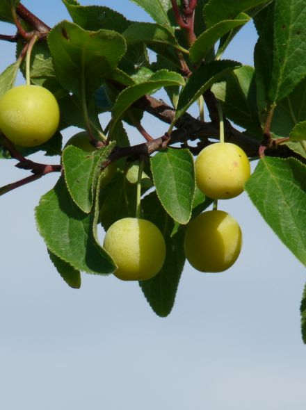 Laagstam leivorm pruimenboom Mirabelle de Nancy (Kroosjespruim, Prunus domestica Mirabelle de Nancy in pot)