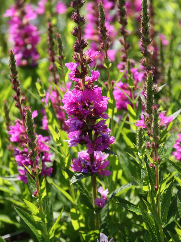 Lythrum salicaria ´Robin´ - Kattenstaart