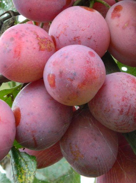 Laagstam leivorm pruimenboom Victoria (Victoria pruim, Prunus domestica 'Victoria' in pot)