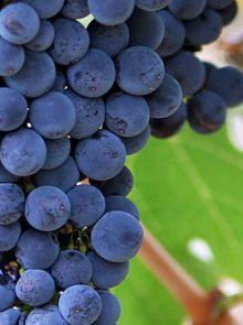 Vitis Frankenthaler (Vitis vinifera Frankenthaler, blauwe druif) - struik in container
