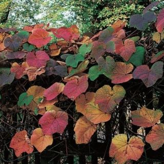 Vitis coignetiae (Sierdruif, herfstkleur, Ziertraube, Herbstfarbe, Ornamental Grape, Autumn Color)