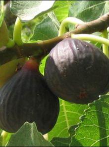 Vijg 'Brown Turkey' (Ficus carica 'Brown Turkey')