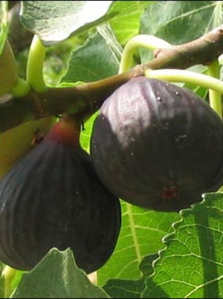 Vijg 'Brown Turkey' (Ficus carica 'Brown Turkey')  - rp2