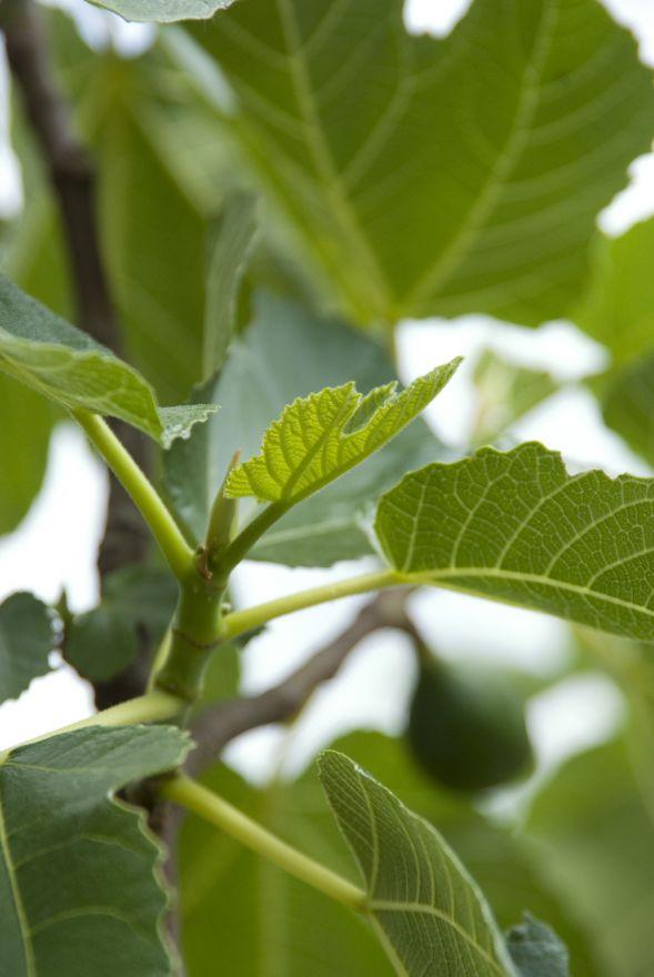 Vijg 'Rouge de Bordeaux' (Ficus carica 'Rouge de Bordeaux')