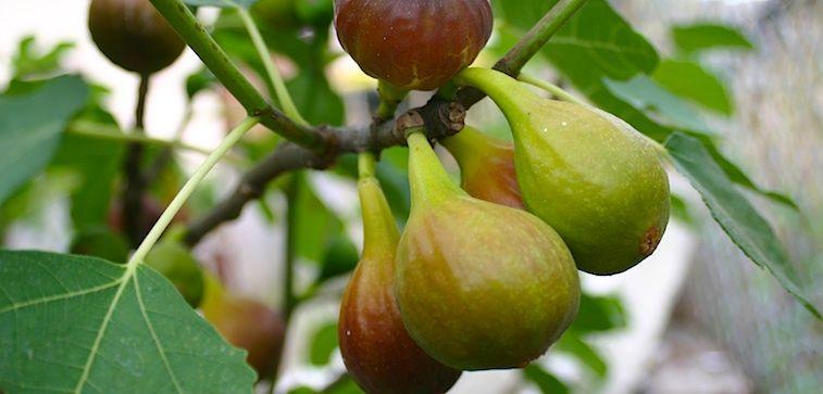 Vijg 'Del Portogallo' (Ficus carica 'Del Portogallo')  - C3