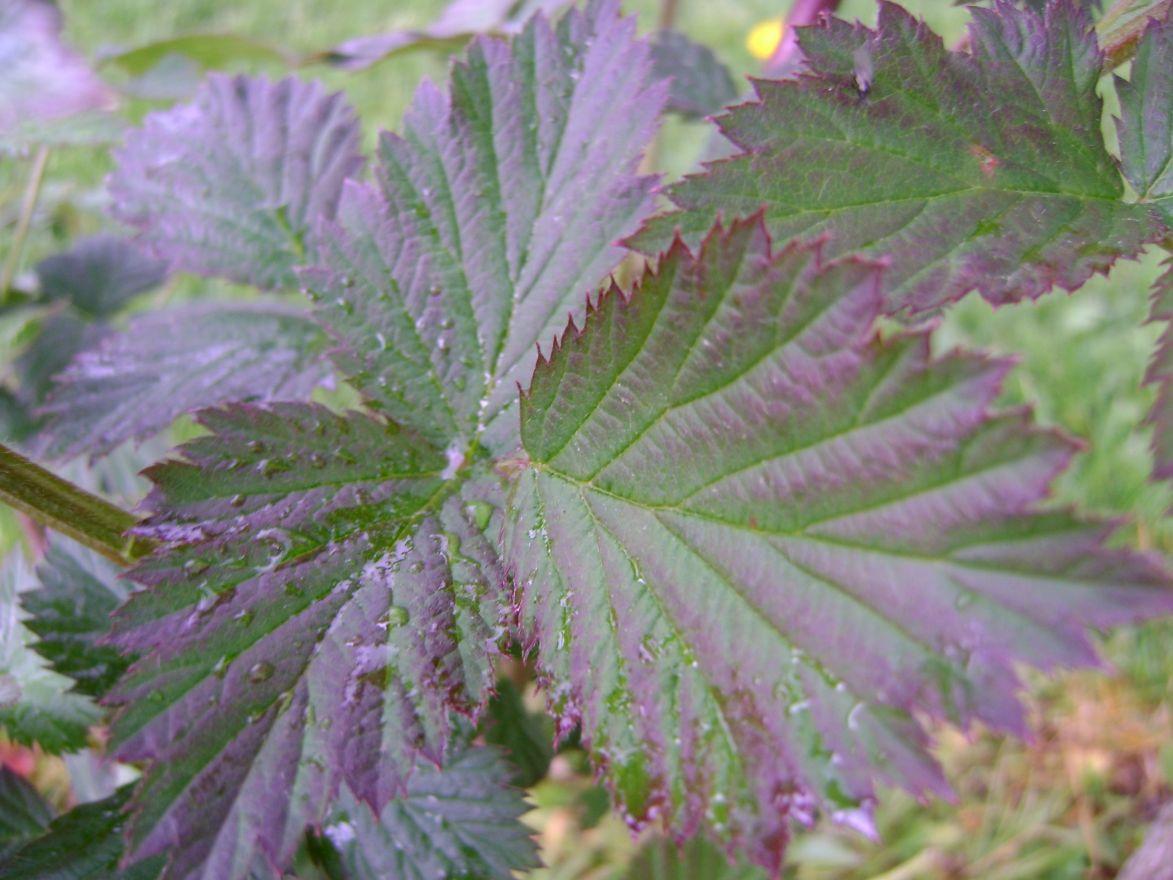 Rubus fruticosus Black Satin (Doornloze Braam)