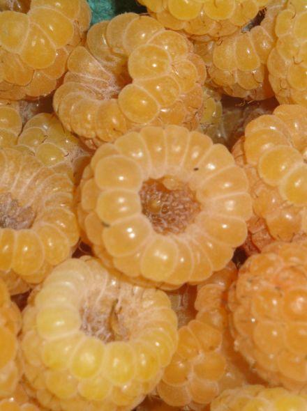 Rubus idaeus 'Fallgold' (Framboos 'Fallgold', Herfstframboos, Gele framboos)