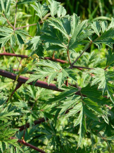 Rubus fruticosus 'Thornless Evergreen' (Braam 'Thornless Evergreen', Doornloze Braam)