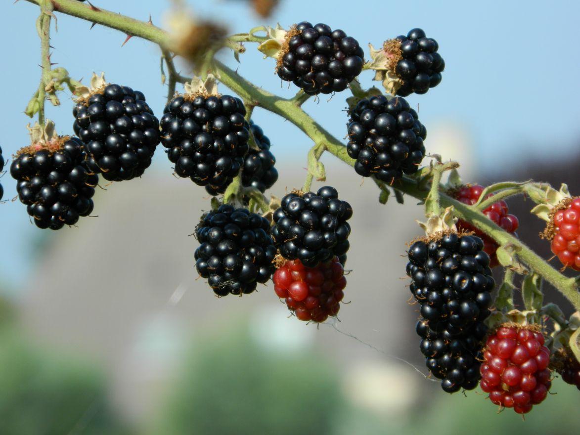 Rubus fruticosus 'Himalaya' (Braam 'Himalaya', Gedoornde Braam)