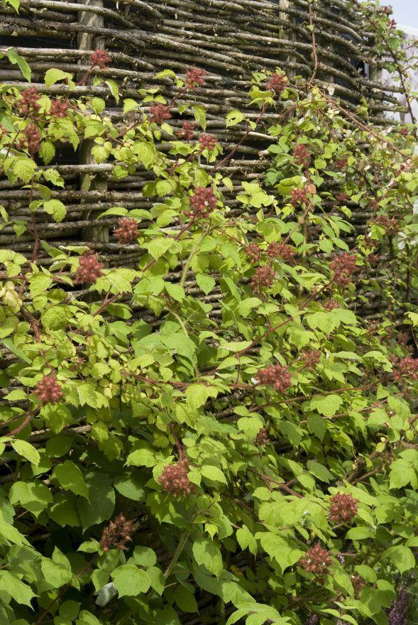 Rubus phoenicolasius (Japanse wijnbes)