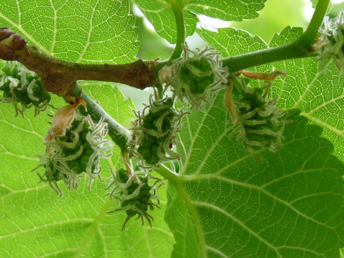 Morus nigra (Zwarte moerbei, Moerbeiboom) - laagstam in pot