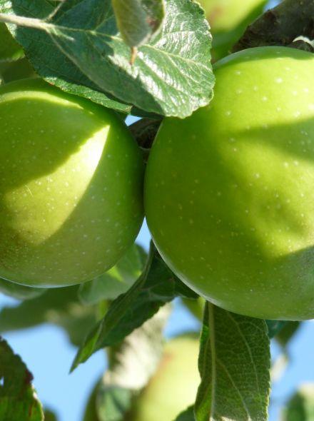Malus domestica 'Greencats' (zuilappel, zuilfruit)