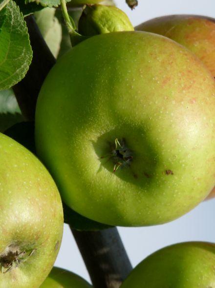 Malus domestica Benoni (Benoni appel, halfstam appelboom)