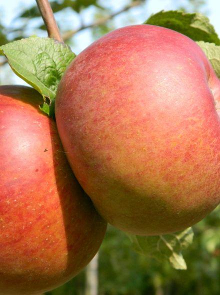 Malus domestica 'Brabant Bellefleur' (laagstam appelboom)