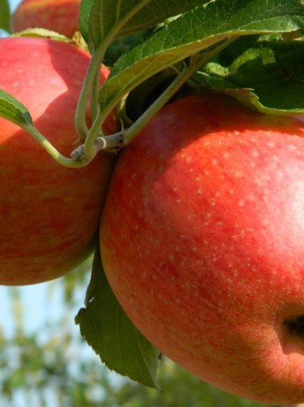 Appelboom lei-appel Braeburn (Malus domestica 'Braeburn', leivorm)