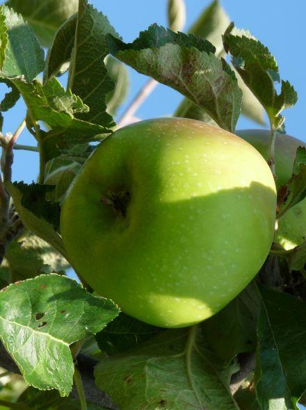 Malus domestica 'Bramley's Seedling', halfstam (Bramley's Seedling appel, halfstam appelboom)