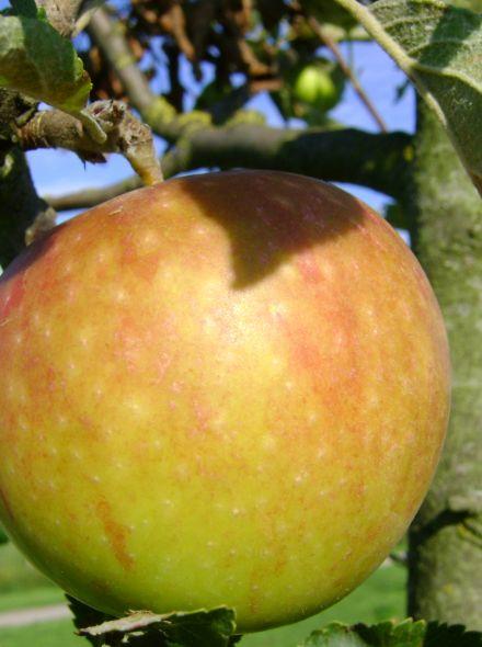 Malus domestica 'Cox's Orange Pippin', halfstam (Cox's Orange Pippin appel, halfstam appelboom)