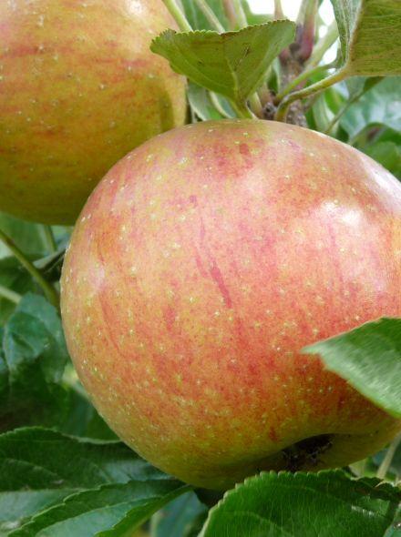 Lei-appel Malus domestica 'Delcorf', leivorm (Delcorf appelboom)