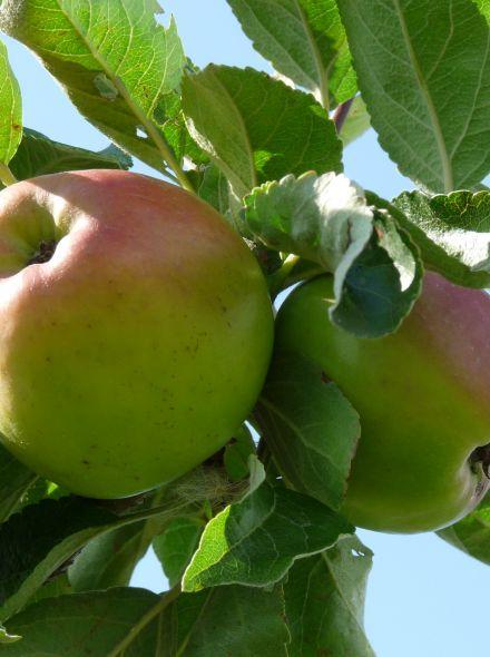 Malus domestica 'Dubbele Bellefleur'(laagstam appelboom)