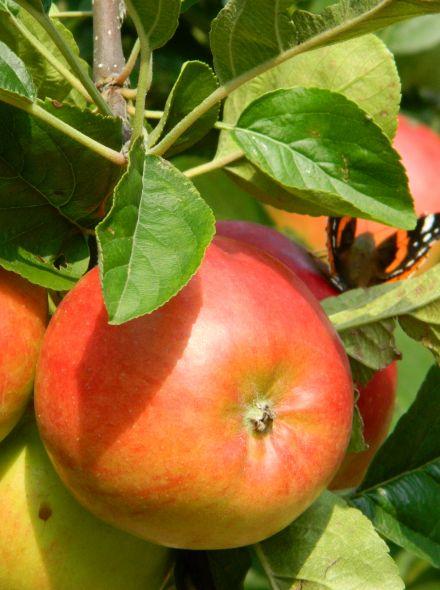 Malus domestica 'Ecolette' (Ecolette appelboom)