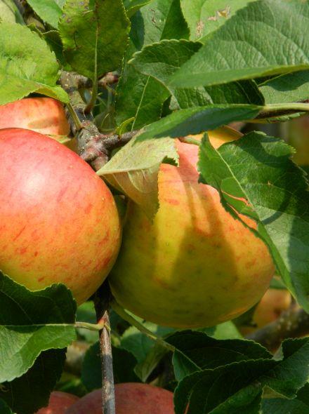Malus domestica Gala (halfstam appelboom)