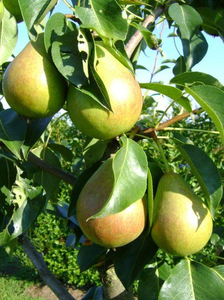 Pyrus communis Clapp's Favorite (hoogstam perenboom)