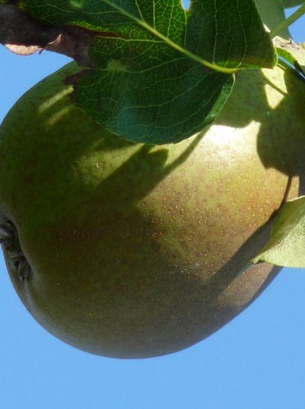 Pyrus communis Beurre Hardy (hoogstam perenboom, Handpeer)