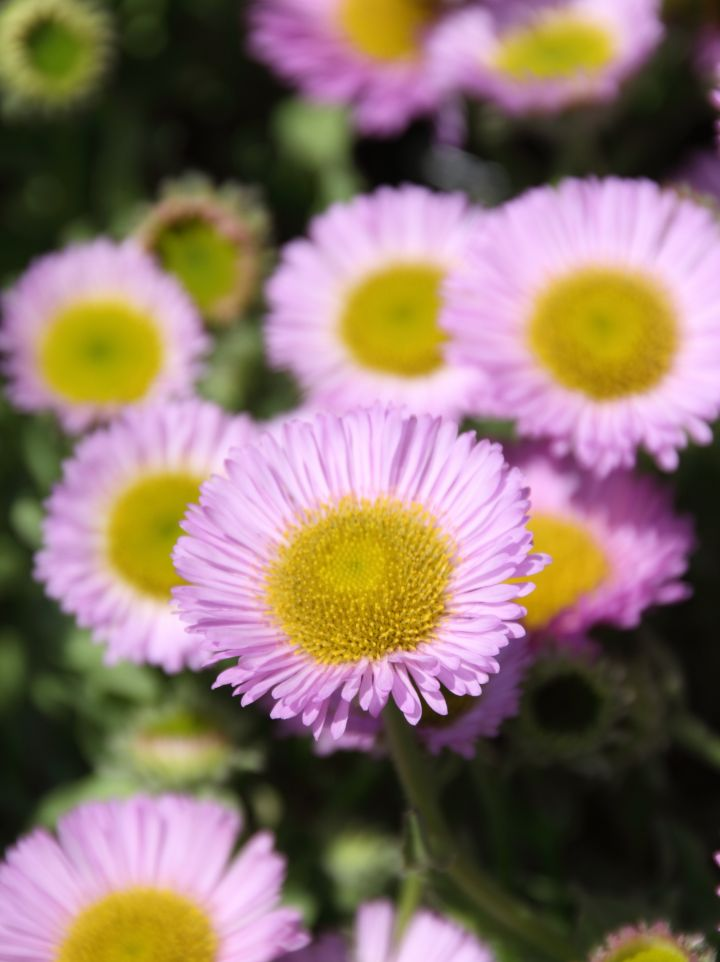 Erigeron glaucus ´Sea Breeze´ - Fijnstraal