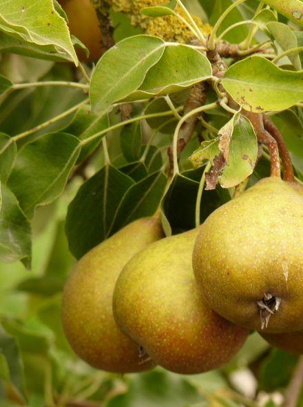 Pyrus communis Gieser Wildeman (halfstam perenboom)
