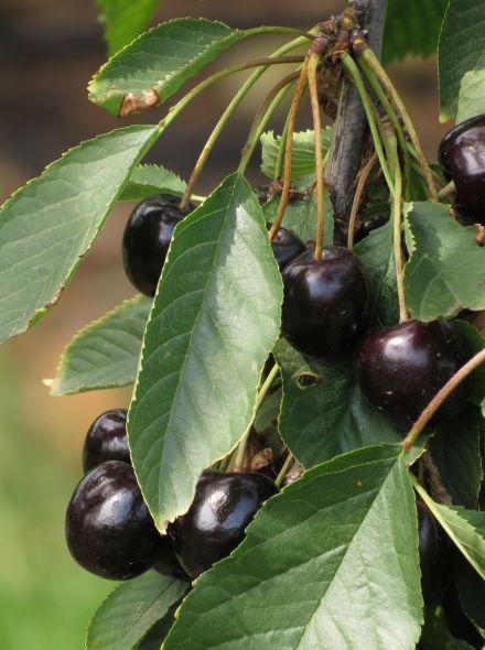 Prunus avium 'Bigarreau Burlat' (Laagstam kersenboom Bigarreau Burlat)